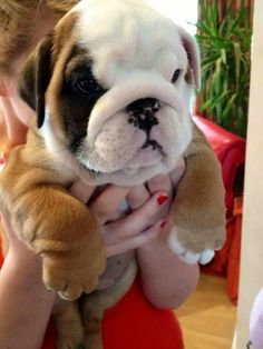 English bulldog Mais #puppies