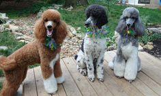 Standard Poodle - Standard Poodle  Photo (35917016) - Fanpop