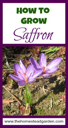How to Grow Saffron