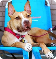 ***WAITING FOR A LOVING HOME! 2/19/16 ~ AVERY~ Pit Bull Terrier/Hound (Unknown Type) Mix Dog for adoption in Bronx, New York - Avery: Sweet, friendly, spayed, up to date on shots. Would do best as only dog in her home. Loves people. Originally arrived at shelter w/ multiple broken bones. Since healed beautifully & ready for her forever home!