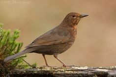 Photograph Blackbird by Mario Severi on 500px