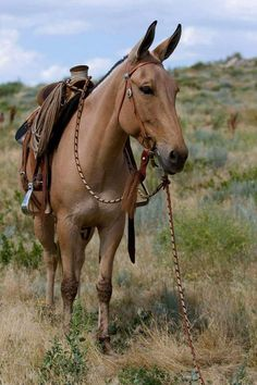 I love when mules are tacked up to ride All The Pretty Horses, Beautiful Horses, Animals Beautiful, Farm Animals, Animals And Pets, Cute Animals, Horse Photos, Horse Pictures, Wild Horses