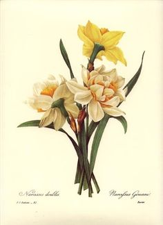 Redoute Botanical Flower Print ~Double Narcissus