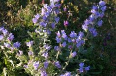 Growing Clary Sage: Enjoying The Clary Sage Herb In Your Garden
