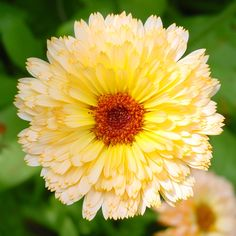 Orange And Yellow Calendula Officinalis Flowers pot Marigold