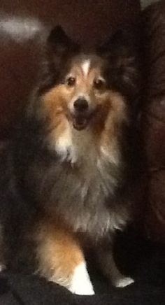 Missing August 8th, 2012 in Wellesley MA Small sable and white male Shetland Sheepdog, looks like Lassie If seen, do not chase him! He is very shy and will run. Please contact animal control at 781-235-1212.
