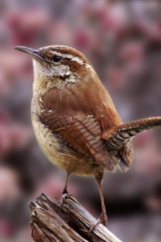 Carolina Wren. My favorite and also our state bird. I GREW UP AT 720 WREN ST.,  SUMTER, SC