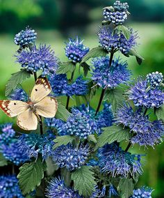 Blue flowers with a beize butterfly resting.
