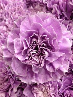 Carnation 'Moon Aqua'/ www.volusiacountyweddingflowers/ www.callaraesfloralevents.com