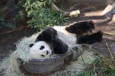gao-gao, the bamboo eating machine