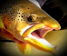 Photos: Ice-Off Trout in Colorado's North Park - Orvis News Fly Fishing Net, Gone Fishing, Best Fishing, Trout Fishing, Cool Fish, Brown Trout, Important Things In Life, Fishing Quotes, Colorado Rockies