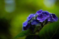 Flowers Hydrangea Purple Nature HD Wallpaper