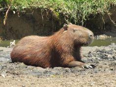 In what other country would an animal that looks like a giant rat in each zoo? The capybara is a view known in several Brazilian cities. It is still a very strange rodent, however - and the biggest one.