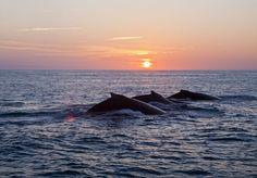 Baleias jubarte precisam de mais áreas protegidas no litoral brasileiro - http://colunas.revistaepoca.globo.com/planeta/2013/04/22/baleias-jubarte-precisam-de-mais-areas-protegidas-no-litoral-brasileiro/ (Foto: Enrico Marcovaldi/Instituto Baleia Jubarte)