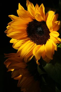 Featured Photos - Sunflowers by Dorothy Cunningham Sunflower Pictures, Sunflower Art, Beautiful Flower Quotes, Beautiful Flowers, Happy Flowers, Wild Flowers, Sun Flowers, My Flower, Flower Power