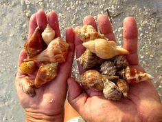 ๑ Sanibel Shelling ๑ — Catch shells by the handful at Sanibel Island beaches!