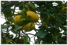 Bergamot is a divine fruit that grows in Reggio di Calabria, it helps to boost the economy of the region. Calabria is the land of Bergamot, this land offers the perfect climate, so this beautiful little fruit can grow properly and offer to the world the most fantastic essential oil with it exquisite aroma which is highly valued by the industries of the fragrance and food and also widely used by Clinical Aromatherapists from all over the places.
