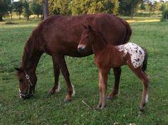 appaloosa's with blankets   Blanket Appaloosa Bashkir Curly Foal   Flickr - Photo Sharing!