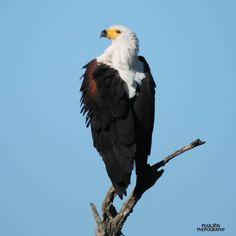African Fish Eagle Kruger National Park, National Parks, Bald Eagle, African, Fish, Instagram, State Parks