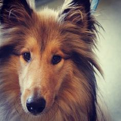 Check out this cutie. This is Lassie the Rough Collie. He came into the clinic for a check up. #vet #dog #dogs #dogsofinstagram #roughcollie #lassie