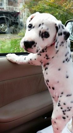 Dalmatian puppy out for a ride!: