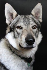 Czechoslovakian Wolfdog--Beings I have Czech in my blood I find it only necessary that I own one of these some day. They are stunning!