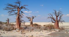 Trees In Botswana - Yahoo Image Search Results