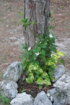 #pothos and #blackeyedsusan Black Eyed Susan, Stepping Stones, Vines, Tropical, Canning, Outdoor Decor, Plants, Cool Crafts, Flora