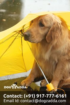 dog training,dog hacks,teach your dog,dog learning,dog tips Super Cute Puppies, Cute Dogs, Golden Retriever Training, Search And Rescue Dogs, Buy A Dog, Dogs For Sale, Funny Dog Pictures, Dog Hacks, Rain