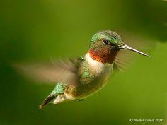Colibri, le plus bel oiseau au monde...