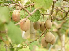 無農薬栽培のキウイフルーツ畑