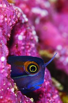 tiny blenny in Raja Ampat
