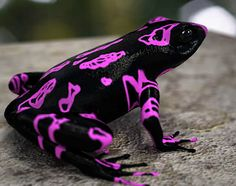 Atelopus ~ Black w/ Purple Markings