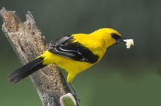Gonzalito o Turpial Amarillo macho, Yellow Oriole male (Icterus nigrogularis)