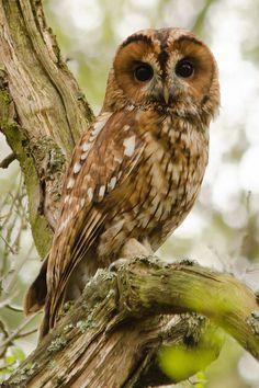 Waldkauz - Tawny Owl by Mark Bowen Beautiful Owl, Animals Beautiful, Cute Animals, Owl Photos, Owl Pictures, Lynx Du Canada, Strix Aluco, Nocturnal Birds, Tawny Owl