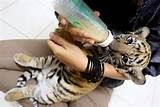 Nursing tiger cubs at the zoo.THIS is the reason I always wanted to be a zoologist! Animals And Pets, Baby Animals, Cute Animals, Tiger Pictures, Animal Pictures, Zoologist Career, Baby Tigers, Tiger Cubs, My Future Job