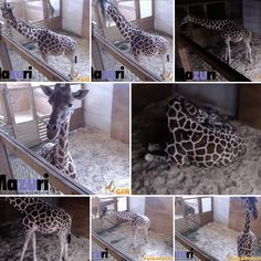 Catch the live feed of mama April and papa Oliver waiting to deliver their baby! Giraffe Watch 2017!  https://youtu.be/HyQfWCX-bAg