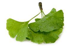 Ginkgo Heilpflanze