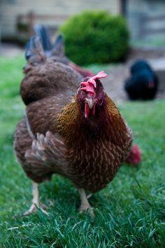 ~welsummer hen - they lay gorgeous dark brown eggs~