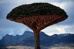 Árbol de la sangre del dragón, es una curiosidad botánica, del que brota una savia roja, cuando se le hace un corte en la corteza. Este árbol sólo existe en la Isla Socotra en el Océano Índico.
