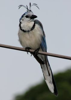WHITE THROATED MAGPIE JAY - costa rica