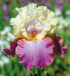 Favorite Fragrant Iris Collection | Chuck Wagon COLORS OF MY OUTFIT