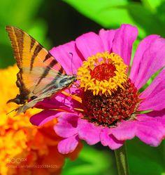 Butterfly (Andrey Glushenko / Krasnodar / Russia) #NIKON D300 #macro #photo #insect #nature