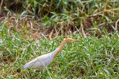 siddharthx posted a photo:  The cattle egret (Bubulcus ibis) is a cosmopolitan species of heron (family Ardeidae) found in the tropics, subtropics and warm temperate zones. It is the only member of the monotypic genus Bubulcus, although some authorities regard two of its subspecies as full species, the western cattle egret and the eastern cattle egret. Despite the similarities in plumage to the egrets of the genus Egretta, it is more closely related to the herons of Ardea. Originally native…