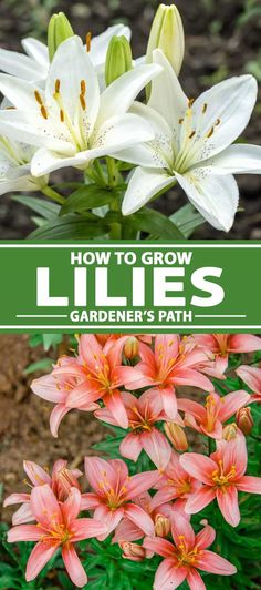 Plants True lilies are splendid, showy flowers that add bright, bold colors and sweet perfume to bed Planting Bulbs, Planting Flowers, Flower Gardening, Growing Lilies, How To Grow Lilies, Perennial Bulbs, Lily Garden, Flamboyant, Flowers Perennials