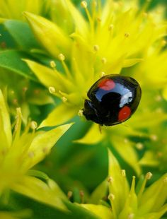 Ladybug on yellow flowers by tanakawho, via Flickr