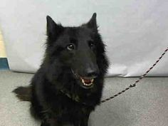 Manhattan Center RUGER – A1093317 MALE, BLACK, BELG TERVUREN MIX, 2 yrs OWNER SUR – EVALUATE, NO HOLD Reason LLORDPRIVA Intake condition UNSPECIFIE Intake Date 10/13/2016, From NY 10461, DueOut Date10/16/2016, I came in with Group/Litter #K16-077820