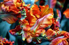 Tulips in Keukenhof by Tea time in Wonderland