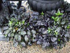"""Black Scallop Ajuga"" - dark perennial."