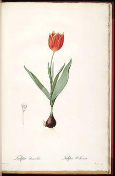 vintage tulip illustration
